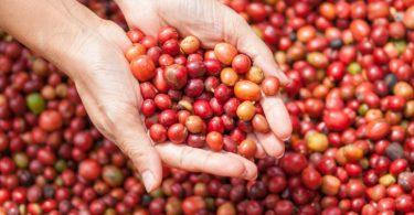 ´Tipos de grãos de café