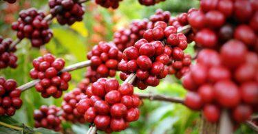 Processo de produção de café